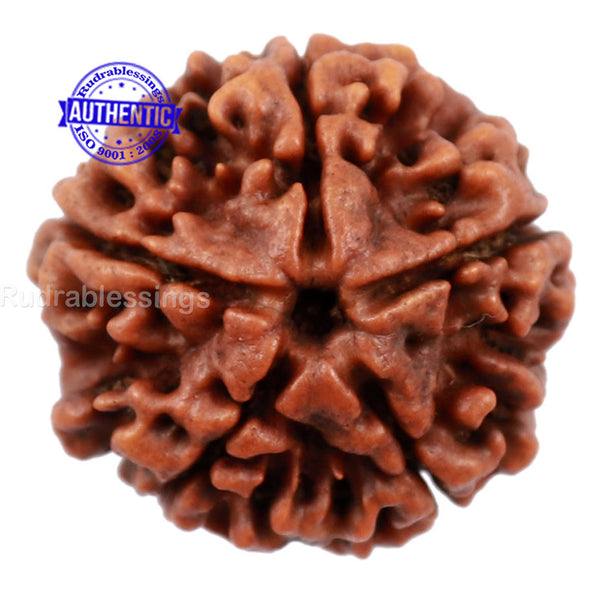 5 Mukhi Rudraksha from Nepal - Bead No. 122