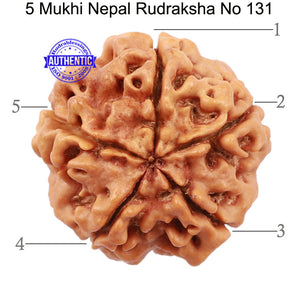 5 Mukhi Rudraksha from Nepal - Bead No. 131