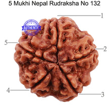 Load image into Gallery viewer, 5 Mukhi Rudraksha from Nepal - Bead No. 132