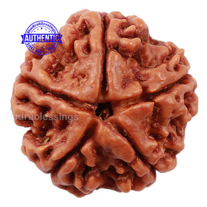 5 Mukhi Rudraksha from Nepal - Bead No. 132