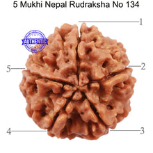 Load image into Gallery viewer, 5 Mukhi Rudraksha from Nepal - Bead No. 134