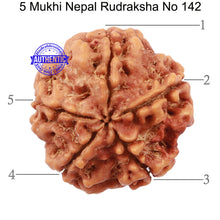 Load image into Gallery viewer, 5 Mukhi Rudraksha from Nepal - Bead No. 142