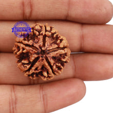 Load image into Gallery viewer, 5 Mukhi Rudraksha from Nepal - Bead No. 145
