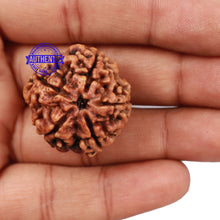 Load image into Gallery viewer, 5 Mukhi Rudraksha from Nepal - Bead No. 147