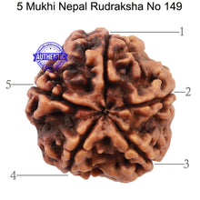 Load image into Gallery viewer, 5 Mukhi Rudraksha from Nepal - Bead No. 149
