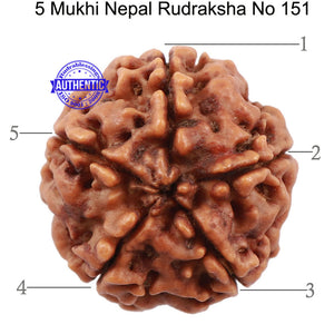 5 Mukhi Rudraksha from Nepal - Bead No. 151