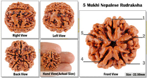 5 Mukhi Rudraksha from Nepal - Bead No. 12