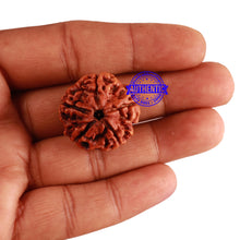 Load image into Gallery viewer, 5 Mukhi Rudraksha from Nepal - Bead No. 186