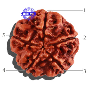 5 Mukhi Rudraksha from Nepal - Bead No. 186