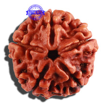 Load image into Gallery viewer, 5 Mukhi Rudraksha from Nepal - Bead No. 208