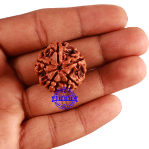 5 Mukhi Rudraksha from Nepal - Bead No. 209