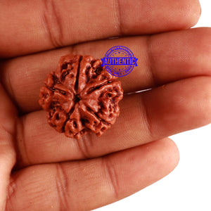 5 Mukhi Rudraksha from Nepal - Bead No. 214