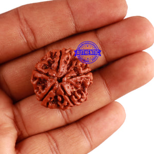 5 Mukhi Rudraksha from Nepal - Bead No. 223