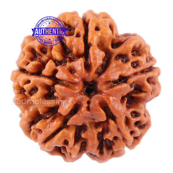 5 Mukhi Rudraksha from Nepal - Bead No. 87
