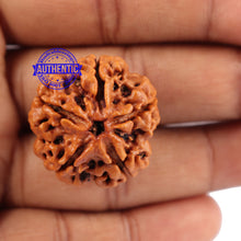 Load image into Gallery viewer, 5 Mukhi Rudraksha from Nepal - Bead No. 88