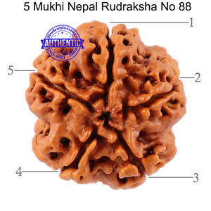 5 Mukhi Rudraksha from Nepal - Bead No. 88