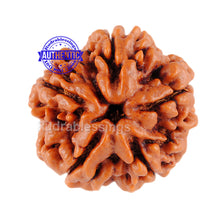 Load image into Gallery viewer, 5 Mukhi Rudraksha from Nepal - Bead No. 12