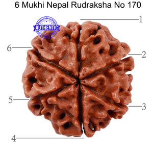6 Mukhi Rudraksha from Nepal - Bead No. 170