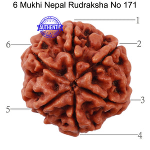 6 Mukhi Rudraksha from Nepal - Bead No. 171