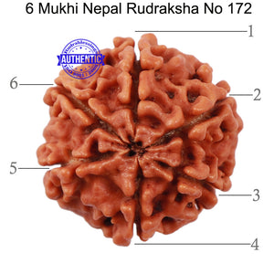 6 Mukhi Rudraksha from Nepal - Bead No. 172
