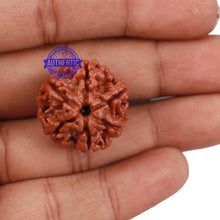 Load image into Gallery viewer, 6 Mukhi Rudraksha from Nepal - Bead No. 175