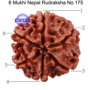 6 Mukhi Rudraksha from Nepal - Bead No. 175