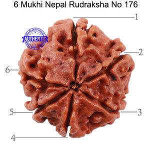 6 Mukhi Rudraksha from Nepal - Bead No. 176