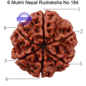 6 Mukhi Rudraksha from Nepal - Bead No. 184