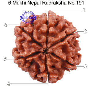 6 Mukhi Rudraksha from Nepal - Bead No. 191