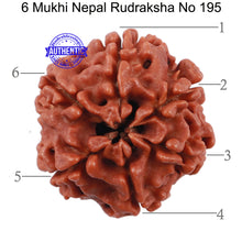 Load image into Gallery viewer, 6 Mukhi Rudraksha from Nepal - Bead No. 195