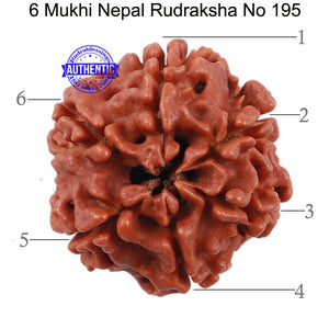 6 Mukhi Rudraksha from Nepal - Bead No. 195