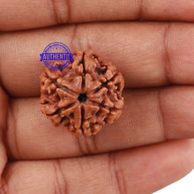 Load image into Gallery viewer, 6 Mukhi Rudraksha from Nepal - Bead No 200