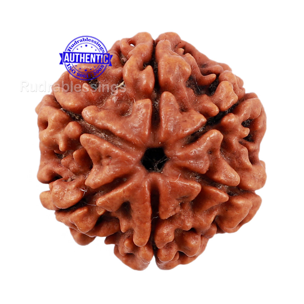 6 Mukhi Rudraksha from Nepal - Bead No 200