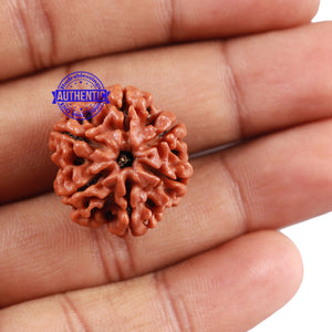 6 Mukhi Rudraksha from Nepal - Bead No. 1