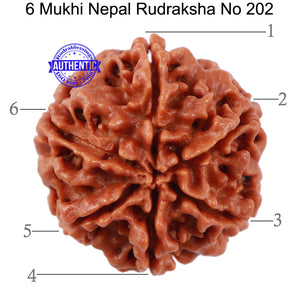 6 Mukhi Rudraksha from Nepal - Bead No. 202