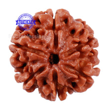 Load image into Gallery viewer, 6 Mukhi Rudraksha from Nepal - Bead No. 203