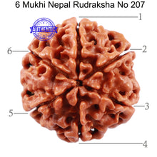 Load image into Gallery viewer, 6 Mukhi Rudraksha from Nepal - Bead No 207