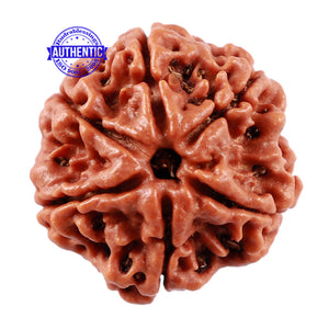 6 Mukhi Rudraksha from Nepal - Bead No. 209