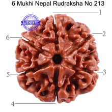 Load image into Gallery viewer, 6 Mukhi Rudraksha from Nepal - Bead No. 213
