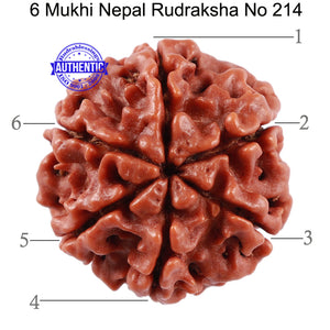 6 Mukhi Rudraksha from Nepal - Bead No. 214