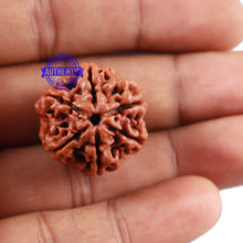 Load image into Gallery viewer, 6 Mukhi Rudraksha from Nepal - Bead No 220