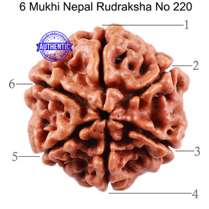 6 Mukhi Rudraksha from Nepal - Bead No 220