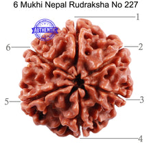 Load image into Gallery viewer, 6 Mukhi Rudraksha from Nepal - Bead No. 227