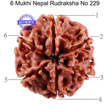 Load image into Gallery viewer, 6 Mukhi Rudraksha from Nepal - Bead No. 229