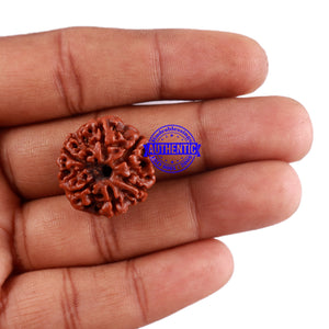 6 Mukhi Rudraksha from Nepal - Bead No. 10