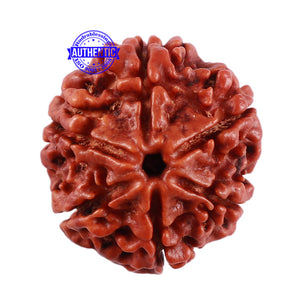 6 Mukhi Rudraksha from Nepal - Bead No. 29