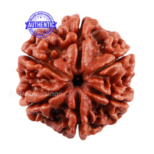 Load image into Gallery viewer, 6 Mukhi Rudraksha from Nepal - Bead No. 5