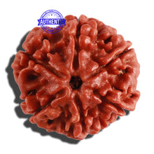 Load image into Gallery viewer, 6 Mukhi Rudraksha from Nepal - Bead No. 259