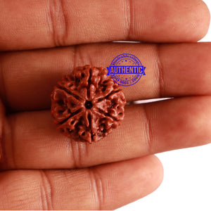 6 Mukhi Rudraksha from Nepal - Bead No. 275