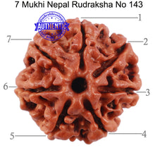 Load image into Gallery viewer, 7 Mukhi Nepalese Rudraksha - Bead No. 143